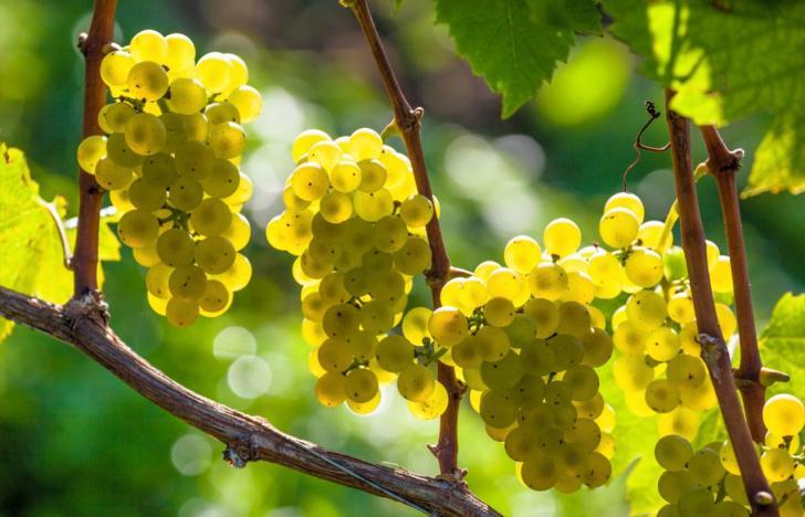 Wein, Wein und Gesang